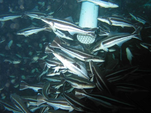 Juvenile cobia responding to a feeding pipe in an offshore cage off of the island of Culebra, Puerto Rico Picture