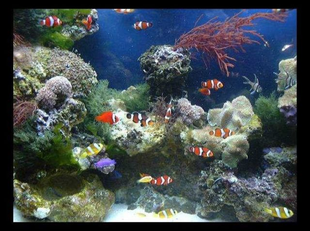 Aquarium with both live rock and invertebrates and finfish that are products of a commericial ornamental marine culture facility in Florida. Picture