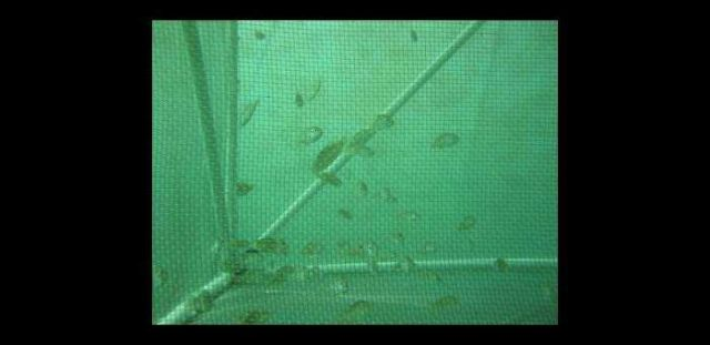 View of juvenile mutton snapper (Lutjanus analis) through a rearing net Picture