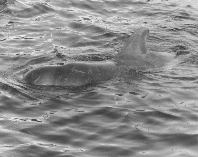 Pilot whale (Globiocephalus melas) Picture