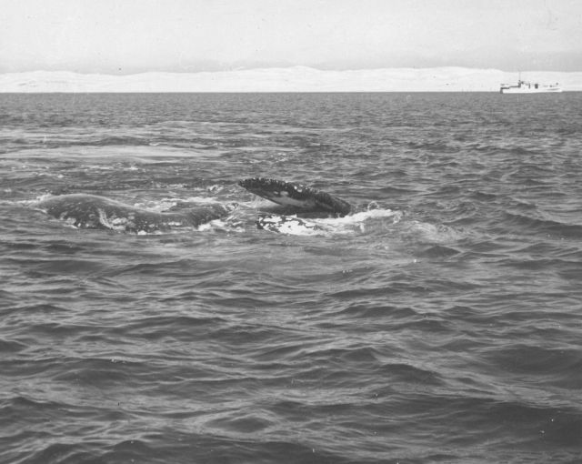 Pair of gray whales rolling and roiling at the surface preparatory to mating Picture