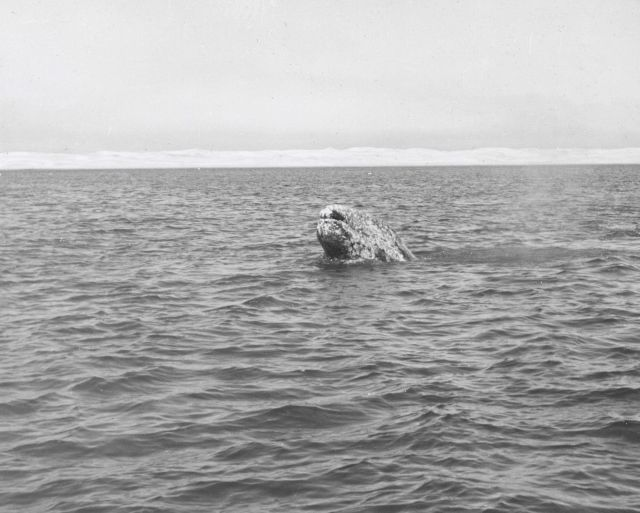 Gray whale in Scammons Lagoon Picture