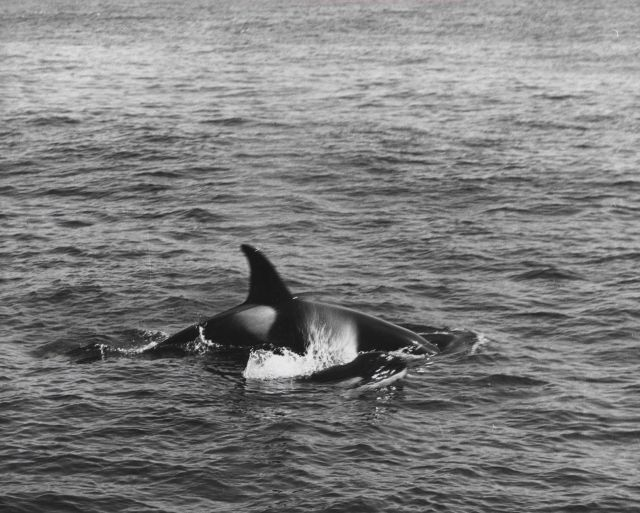 Killer whale, designated as Grampus rectipinna by V.B Picture