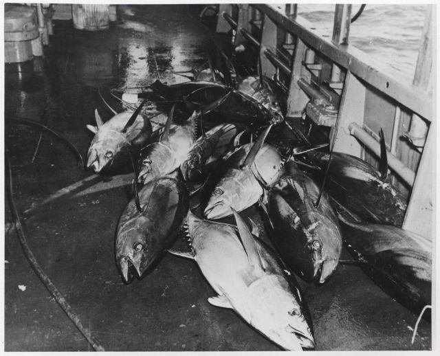 Catch of yellowfin tuna onboard the FWS research vessel OREGON Picture