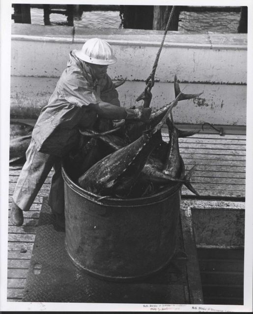 Unloading catch of yellowfin tuna Picture