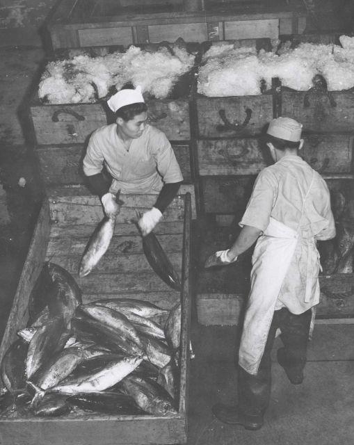 Brailing bluefin tuna Picture