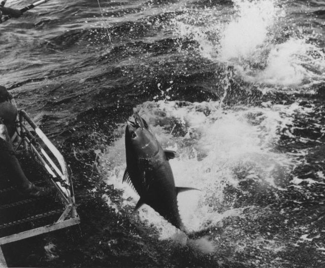 Landing a yellowfin tuna on board the BCF research ship UNDAUNTED Picture