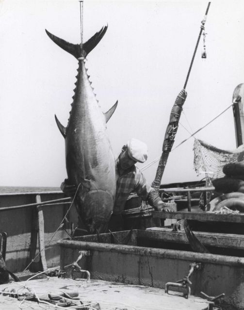 Bluefin tuna being hoisted aboard the FWS research vessel DELAWARE Picture