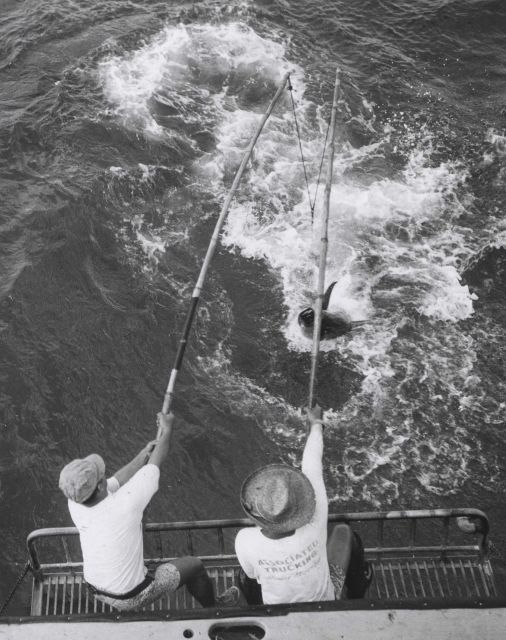 Two-pole method of landing large yellowfin tuna (Thunnus albacares) Picture