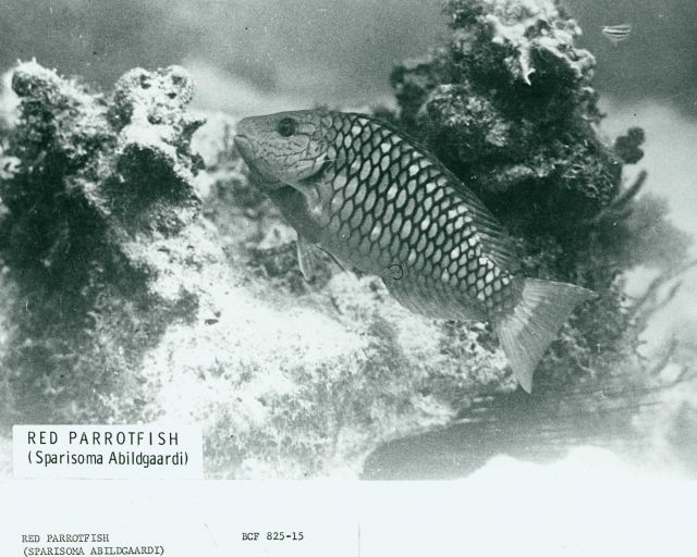 Red parrotfish (Sparisoma abildgaardi) Picture