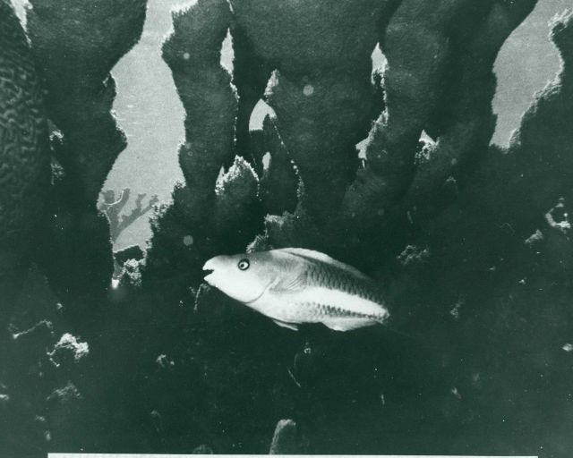 White-banded parrotfish Picture