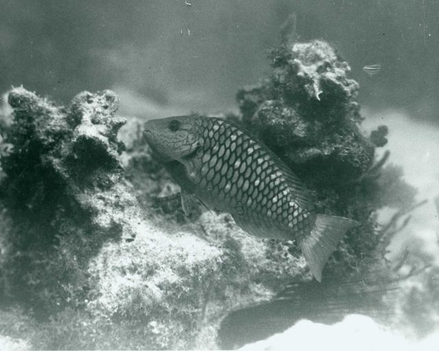 Red parrotfish (Sparisoma abildgaardi) Picture