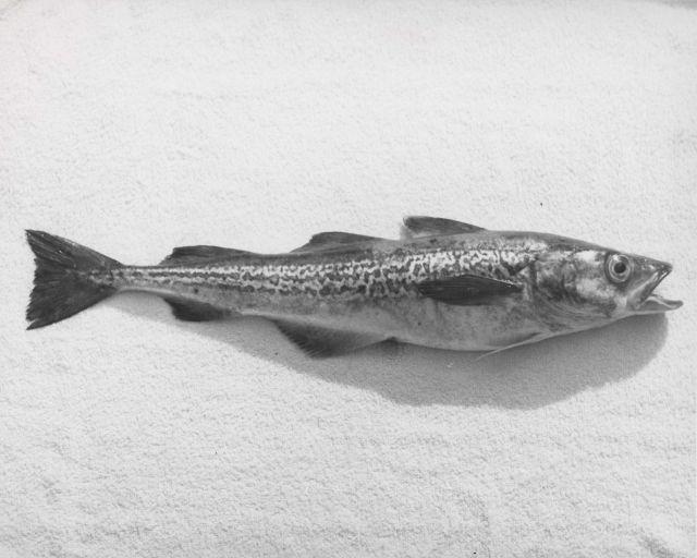 Pollock (Theragra chalcogramma) Silver. Picture