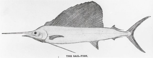 Sailfish (common swordfish) from drawing Picture