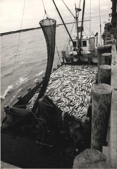 Scow load of sockeye salmon Picture