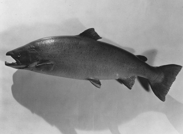 Atlantic salmon (Salmo salar Picture