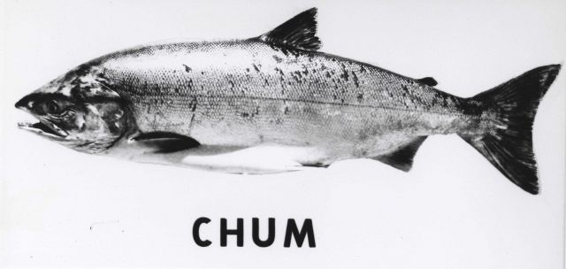 Chum salmon Picture