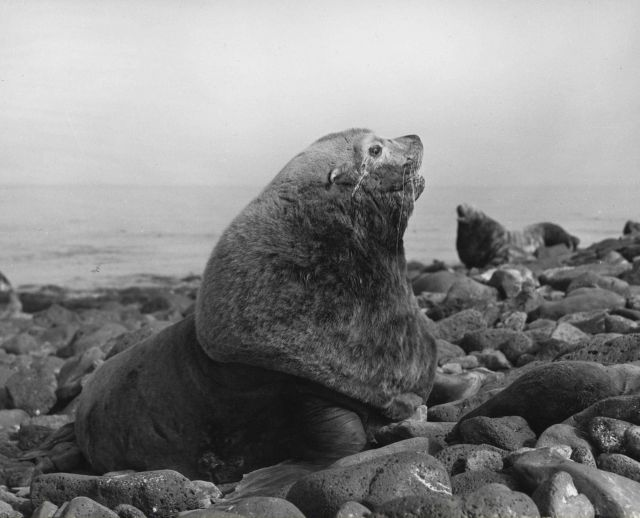 Bull steller sea lion Picture
