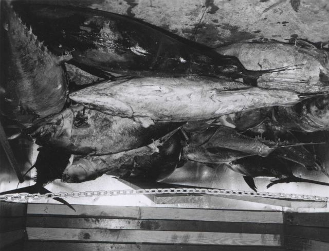 23 yellowfin tuna weighing 2960 pounds at the De Jean Packing Co. Picture