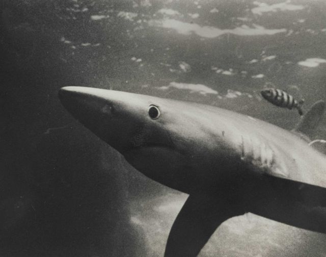Blue shark (Prionace glauca) and banded rudderfish Picture