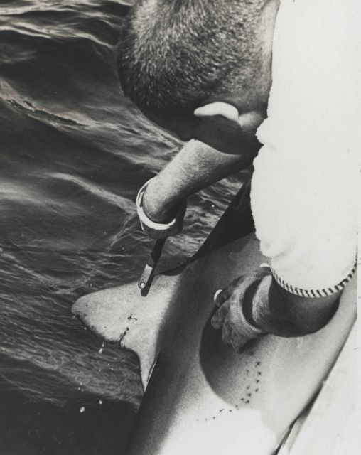 Biologist preparing to tag blue shark (Prionace glauca) Picture