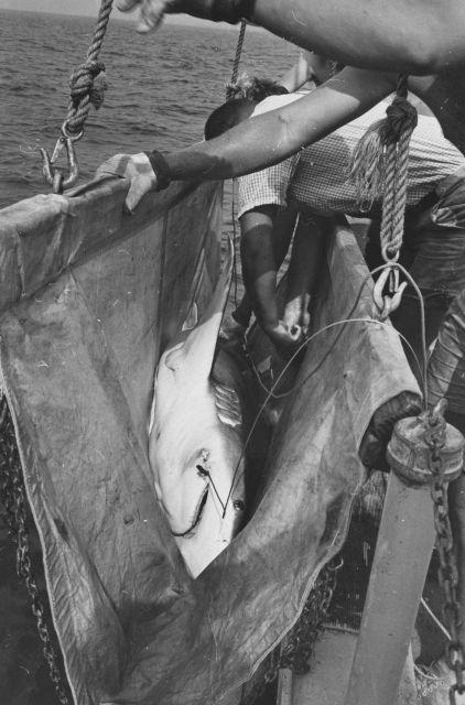 Captive sandbar shark in sling for tagging Picture