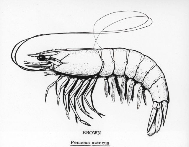 Brown shrimp drawing (Penaeus azteca) Picture