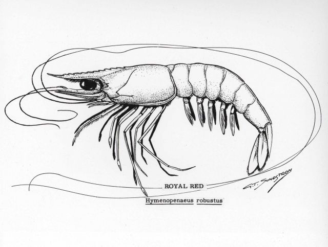 Royal red shrimp drawing (Hymenopenaeus robustus) Picture
