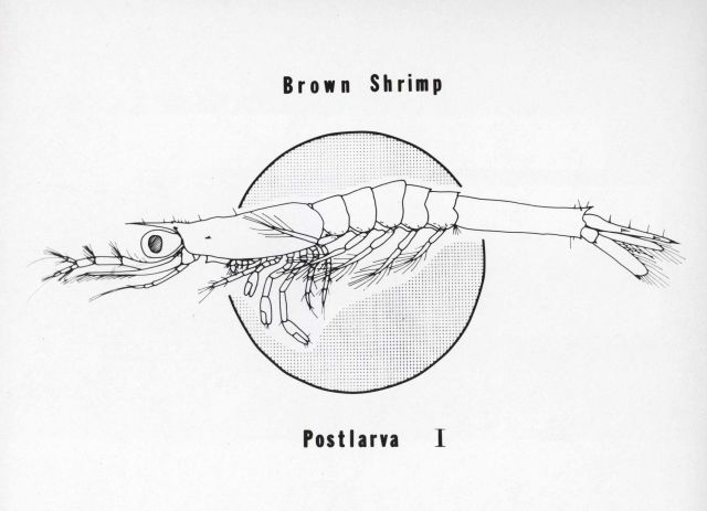 Drawing of first postlarva of brown shrimp (Peneaeus aztecus), about twelve days after hatching Picture