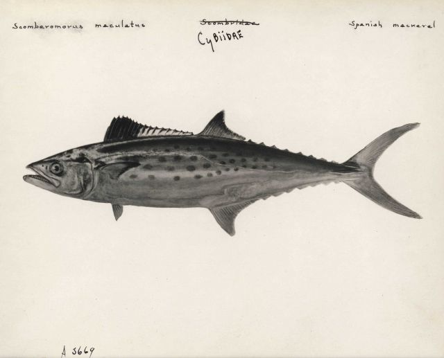 Spanish mackerel (Scomberomorus maculatus) Picture