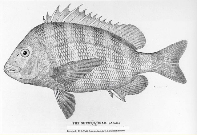 Sheepshead (Archosargus probatocephalus) from drawing by H Picture