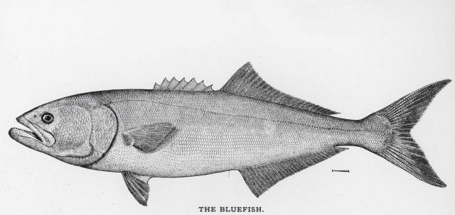Bluefish (Pomatomus saltatrix) from drawing by H Picture