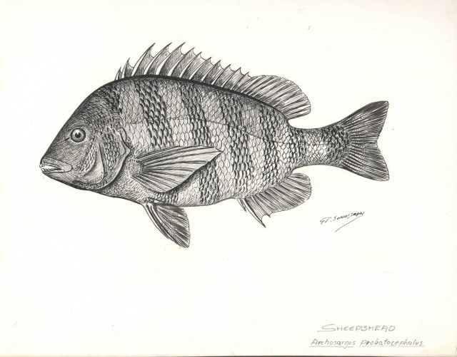 Sheepshead (Archosargus probatocephalus) from drawing by G Picture