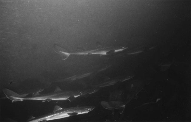 A school of dogfish sharks Picture