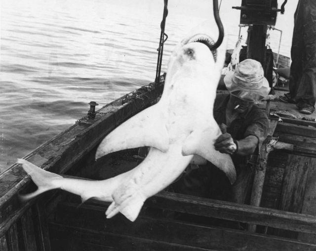 Hoisting sandbar shark, Carcharhinus milberti, aboard shark fishing vessel Picture