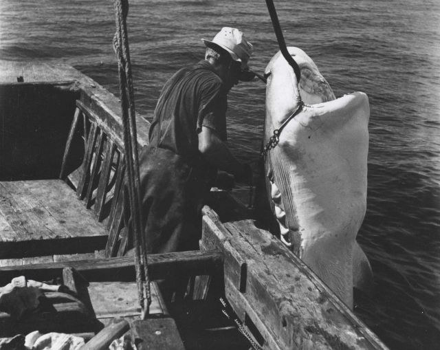 A commercial fisherman off the east coast of Florida preparing to remove the hook from the jaw of a 12-foot tiger shark Picture