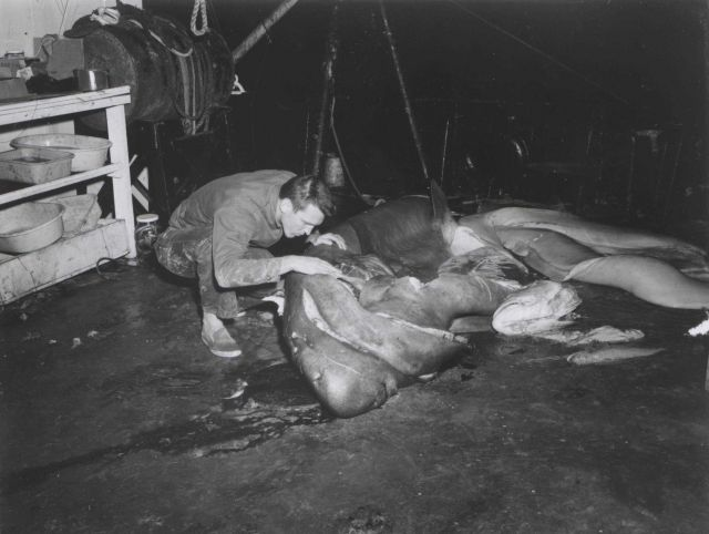 Dissecting shark caught during shrimp trawling operation on FWS ship OREGON Picture