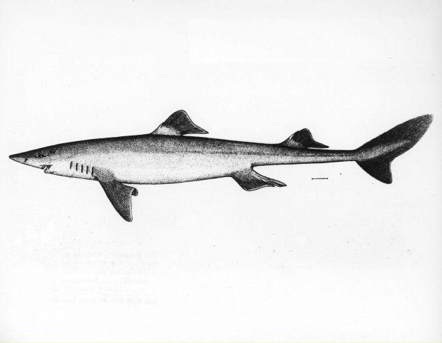 Dogfish (Squalus acanthias) Picture