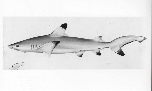 Blacktip reef shark (Carcharhinus melanopterus from drawing by W Picture