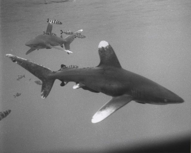 Whitetip sharks (Carcharhinus longimanus) and pilotfish photographed from the raft NENUE in the Central Pacific Ocean Picture