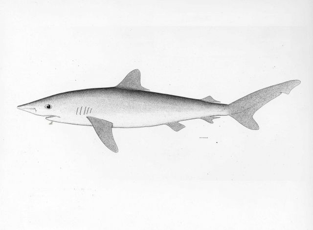Shovelnose shark from drawing (Sphyrna tiburo) Picture