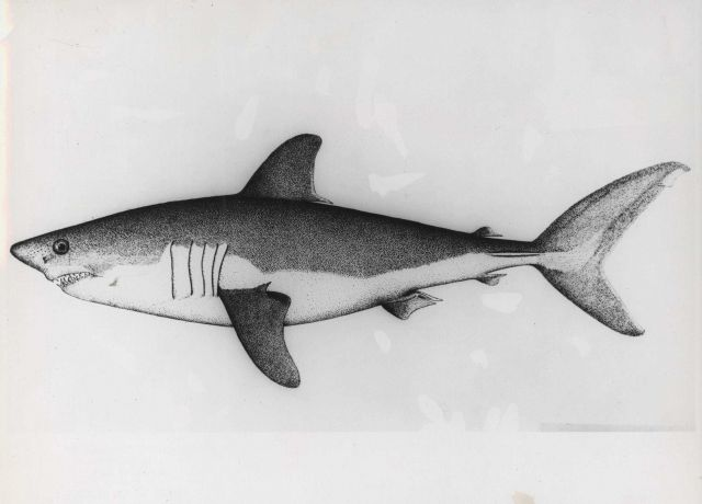 Drawing of salmon shark, also known as porbeagle Picture