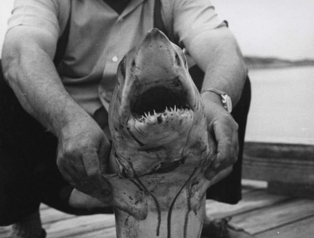 Mouth of mako shark Picture