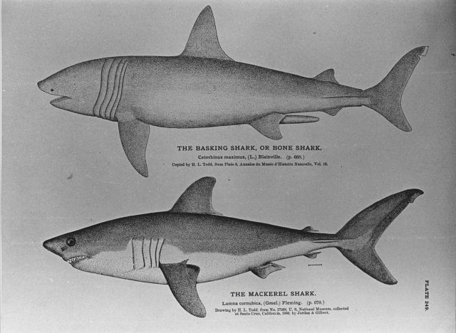 Drawings of basking shark (Cetorhinus maximus) and mackerel shark (Lamna cornubica) by H Picture