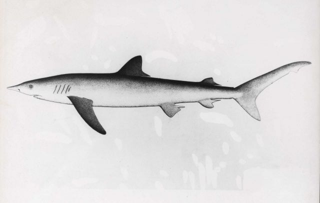 Drawing of great blue shark Picture