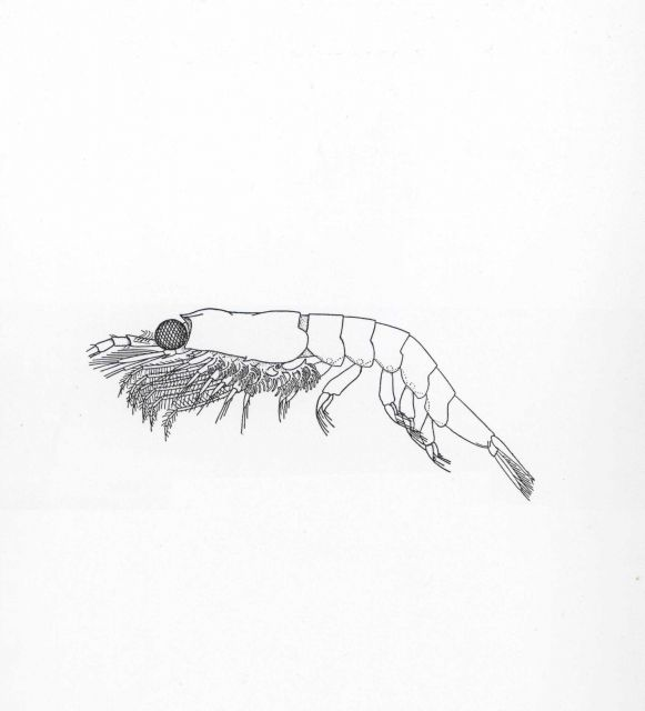 Line drawing of brown shrimp Picture