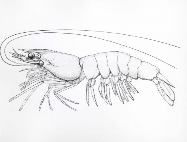 The white shrimp (Penaeus setiferus) drawing after Rathbun Picture