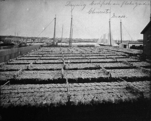 Drying codfish in flake yard at Gloucester, MA. Picture