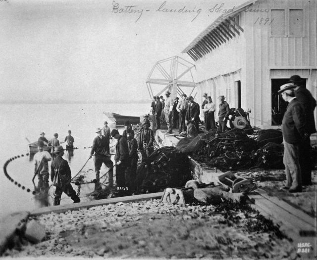 At Fishing Battery Hatchery and Lighthouse landing shad seine, 1891. Picture