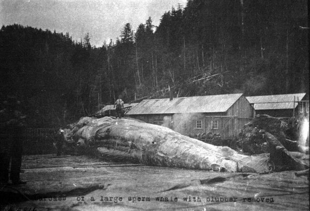 Carcass of a large sperm whale with blubber removed. Picture
